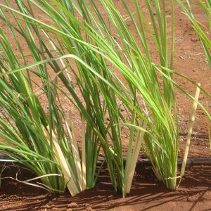 'Sunshine' Vetiver Grass