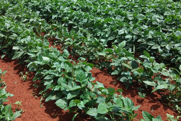 Iron Clay Cowpea