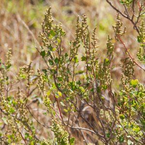 Chenopodium oahuense