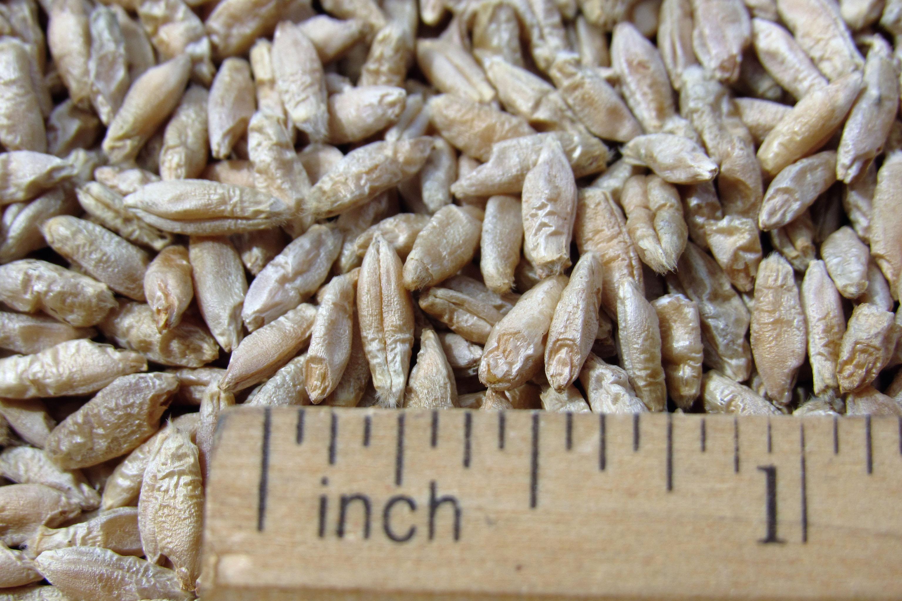 triticale seed molokai seed company